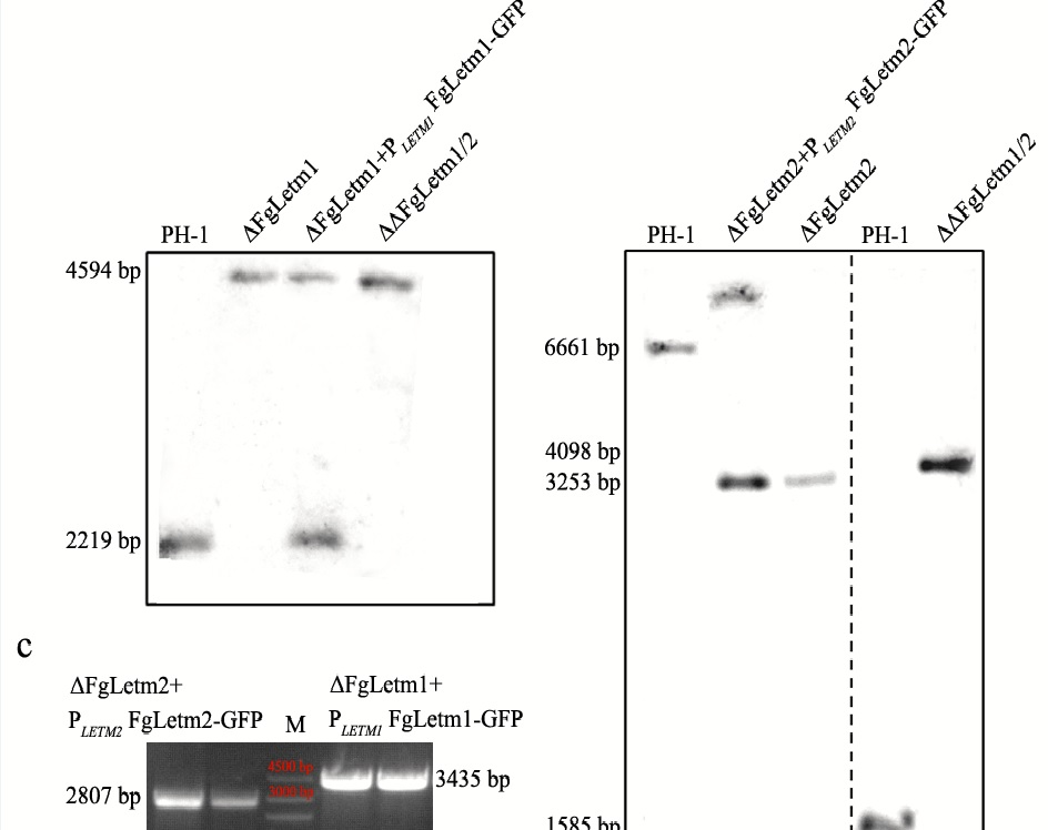 The mitochondrial membrane protein FgLetm1 regulates mitochondrial integrity, production of endogenous reactive oxygen species and mycotoxin biosynthesis in Fusarium graminearum Image