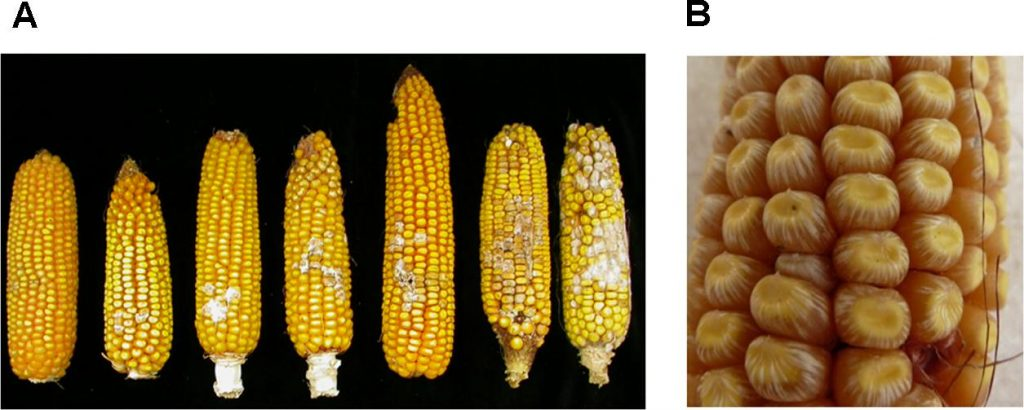 Molecular Basis of Resistance to Fusarium Ear Rot in Maize Image