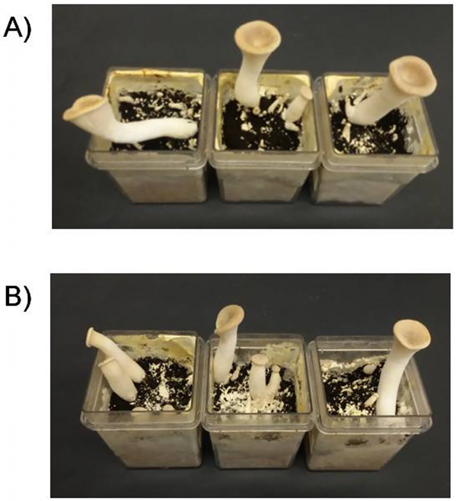 Bioremediation of aflatoxin B1-contaminated maize by king oyster mushroom (Pleurotus eryngii) Image