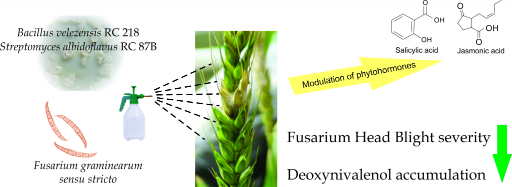 Biocontrol of Fusarium graminearum sensu stricto, Reduction of Deoxynivalenol Accumulation and Phytohormone Induction by Two Selected Antagonists Image