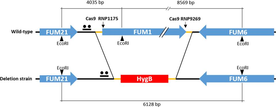 A CRISPR- Cas9 System for Genome Editing of Fusarium proliferatum Image