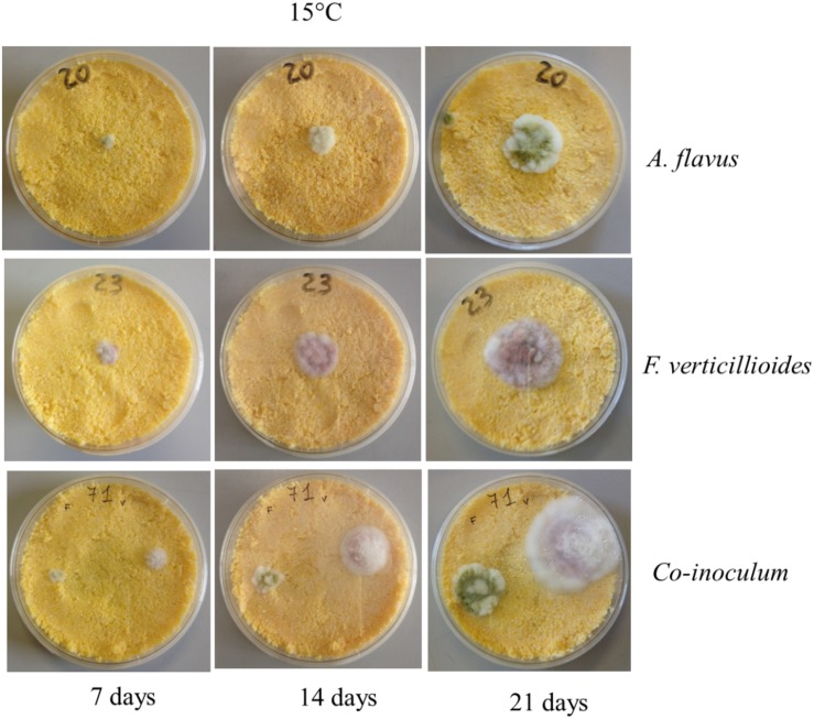 Aspergillus flavus and Fusarium verticillioides Interaction: Modeling the Impact on Mycotoxin Production Image