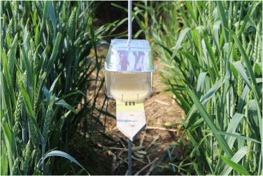 Prevention of Fusarium head blight infection and mycotoxins in wheat with cut-and-carry biofumigation and botanicals Image